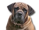 Boerboel for dog ecards