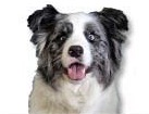 Blue Merle Border Collie for dog ecards