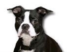 Boston Terrier for dog ecards