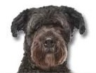 Bouvier des Flandres for dog ecards