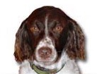 Brittany Spaniel for dog ecards