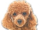 Brown Toy Poodle for dog ecards