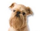 Brussels Griffon for dog ecards