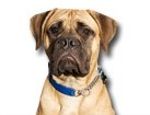Bull Mastiff for dog ecards