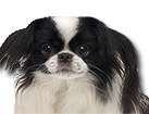 Black and White Japanese Chin for dog ecards