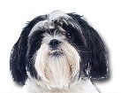 Black and White Shih Tzu for dog ecards