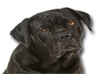 Cane Corso for dog ecards