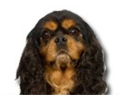 Black & Tan Cavalier King Charles Spaniel for dog ecards