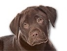 Chocolate Lab Puppy for dog ecards