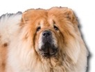 Chow Chow for dog ecards