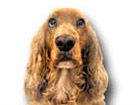 Cocker Spaniel for dog ecards