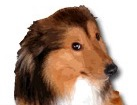 Sheltie for dog ecards