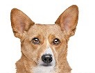 Welsh Corgi German Shepherd Mix for dog ecards