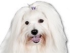 Coton de Tulear for dog ecards