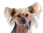 Chinese Crested Hairless for dog ecards