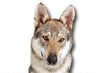 Czechoslovakian Wolfdog for dog ecards