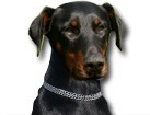Doberman Pinscher for dog ecards
