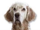 English Setter for dog ecards