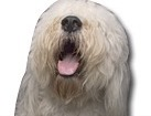 Old English Sheepdog for dog ecards