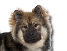 Eurasier for dog ecards