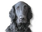 Flat-Coated Retriever for dog ecards