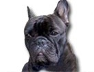 Black French Bulldog for dog ecards