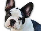French Bulldog for dog ecards
