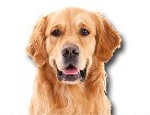 Golden Retriever for dog ecards