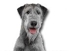 Irish Wolfhound for dog ecards