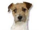 Rough Coated Jack Russell for dog ecards