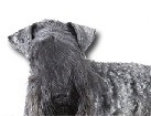 Kerry Blue Terrier for dog ecards
