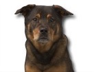 Labrador Rottweiler Mix for dog ecards