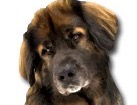 Leonberger for dog ecards