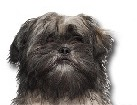 Lhasa Apso for dog ecards