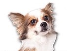 Longhair Chihuahua for dog ecards