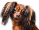 Longhaired Russian Toy Terrier for dog ecards