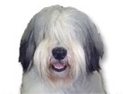 Polish Lowland Sheepdog for dog ecards