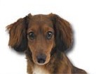 Miniature Dachshund for dog ecards