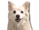 American Eskimo Dog for dog ecards