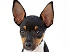 Miniature Pinscher Mix for dog ecards