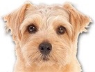 Norfolk Terrier for dog ecards