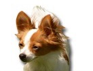 Papillon for dog ecards