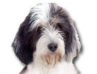 Petit Basset Griffon Vendeen for dog ecards