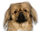 Pekingese for dog ecards