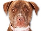 Brown Pit Bull for dog ecards