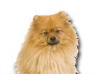 Pomeranian for dog ecards