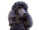 Black Standard Poodle for dog ecards