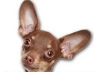 Russian Toy Terrier for dog ecards