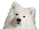 Samoyed for dog ecards