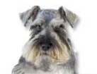 Salt and Pepper Miniature Schnauzer for dog ecards